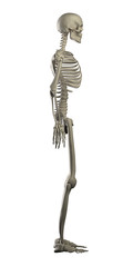 Highly detailed skeleton isolated - side view