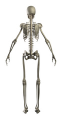 Highly detailed skeleton isolated - rear view