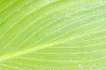 banana green leaf texture