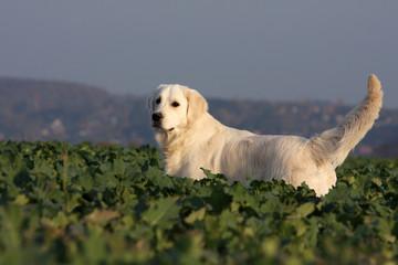 Golden retriever dans les champs en liberté