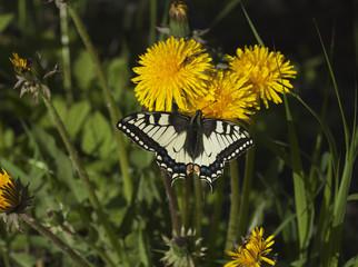 Swallowtail on dandeilon.