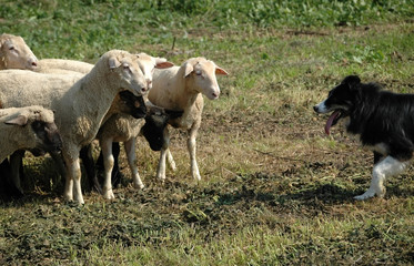border collie and flock of sheep