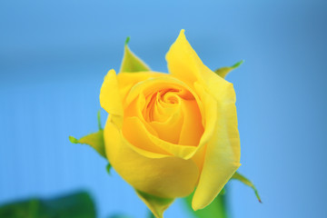 yellow rose isolated on blue sky