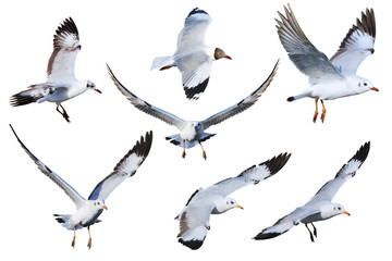 White isolated seagull mix