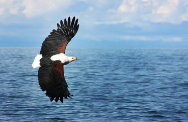 Eagle flying on water