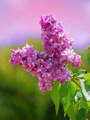 fleurs de lilas 2
