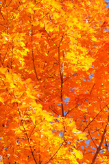 Autum Colors of Sugar Maple Tree