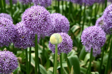 Giant Onion (Allium Giganteum) blooming in a garden