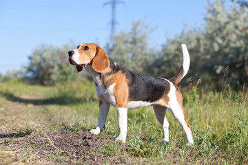 Dog of breed Beagle in the field