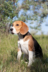 A beautiful Beagle hound dog