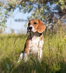 A beautiful Beagle hound dog