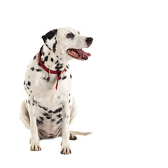 female dalmatian looking to a side
