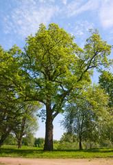Green oak tree in city park