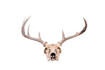 Whitetail Buck Skull