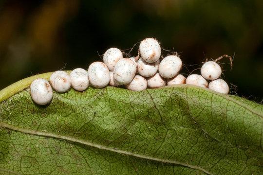 great peacock moth eggs / Saturnia pyri