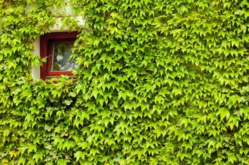 window in the green creepers