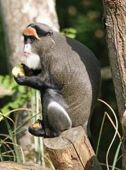 De Brazza's Monkey 4
