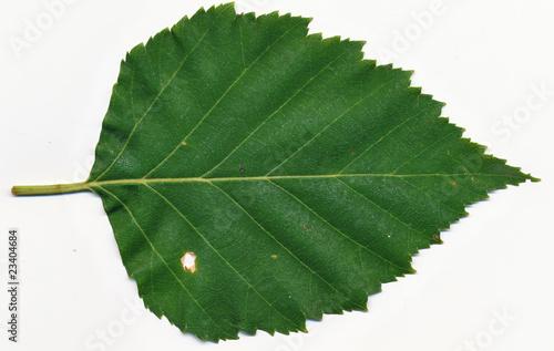 paper birch leaf Paper birch, white birch, canoe birch paper birch in winter g lumis: bark of paper birch g lumis: leaf of paper birch g lumis: scientific name: betula papyrifera.