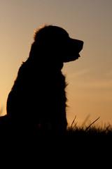 silhouette d'un chien au  crépuscule