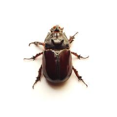 rhino beetle isolated