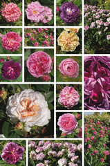 roses anciennes de jardin