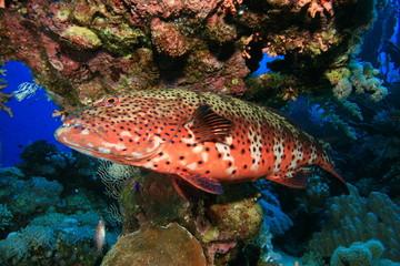 Red Sea Coral Grouper