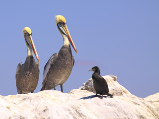 Pélicants regardant de haut un jeune cormoran
