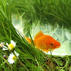goldfish in bowl on a meadow