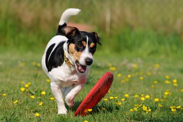 Jacky mit Frisbee