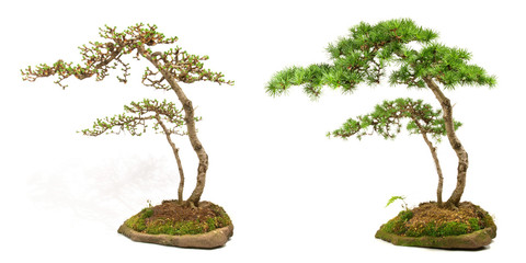Bonsai - Nadelwachstum