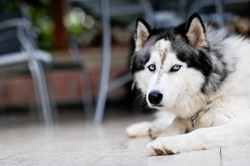 beautiful blue eyed husky