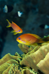 Orange tropical fish close up.