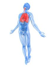 männliche Anatomie mit markierter Lunge