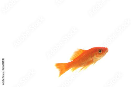 Poisson rouge isol sur fond blanc photo libre de droits for Tarif poisson rouge
