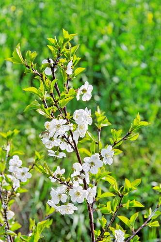 fleurs blanches sur branche d 39 arbre photo libre de droits sur la banque d 39 images. Black Bedroom Furniture Sets. Home Design Ideas