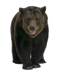 Siberian Brown Bear, 12 years old, walking