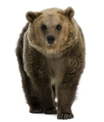 Female Brown Bear, 8 years old, walking