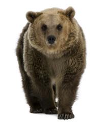 Female Brown Bear, 8 years old, walking