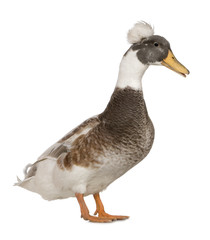 Male Crested Duck, 3 years old, standing against white backgroun