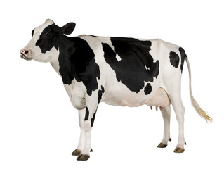Spoed Foto op Canvas Koe Holstein cow, 5 years old, standing against white background