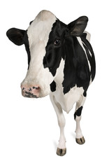 Fotobehang Koe Holstein cow, 5 years old, standing against white background