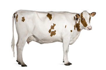 Holstein cow, 4 years old, standing against white background Wall mural