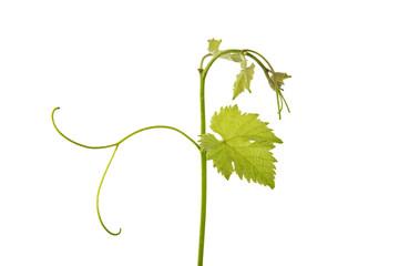 Weinranke