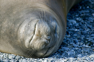 Seal sleeping on the beach, head shot