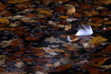 Vogelfeder auf einem Teich im Herbst