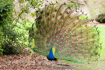 Peacock fantail
