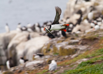 Puffin in flight with sandeel