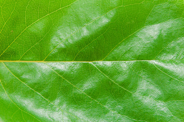 background of the young green leaf