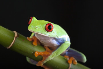 bamboo frog