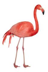 Foto op Canvas Flamingo American Flamingo cutout